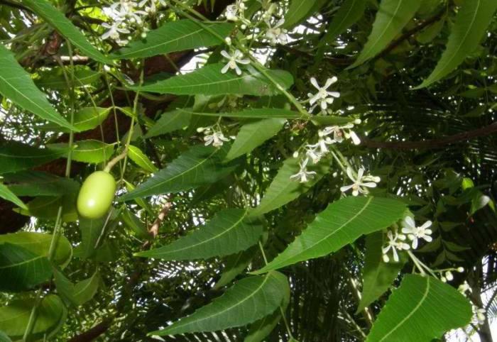 olio-di-neem